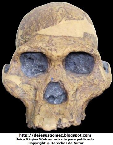 Réplica del cráneo de Australopithecus afarensis en Perú. Foto del cráneo de Australopithecus afarensis tomanda por Jesus Gómez