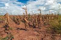 Corn shows the affect of drought in Texas in August 2013. (Credit: USDA/Bob Nichols) Click to Enlarge.