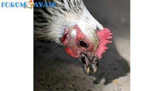 alasan mengapa ayam memakan batu kerikil