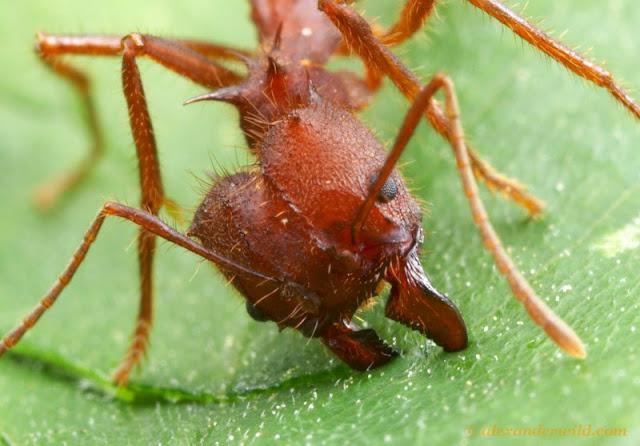 Leaf cutter ant - cutting