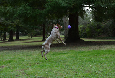 dog jumping to catch purple ball