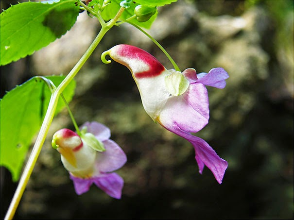 Parrot Flower (Impatiens Psittacina) - 17 Flowers That Look Like Something Else