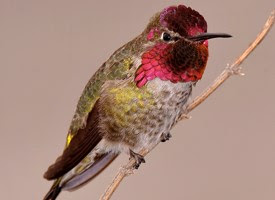 lake arrowhead, hummingbirds, bird watching