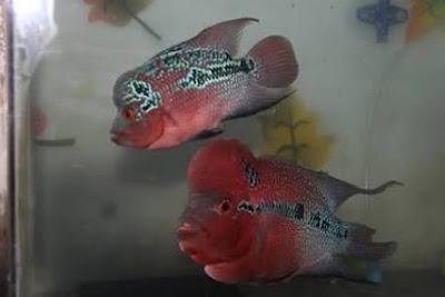 Tips melihat perbedaan jenis klamin ikan louhan