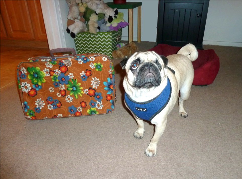 Super Beefy Pug The Orange Stain On The Rug Smelled Like Cheese Machost Co Dining Chair Design Ideas Machostcouk