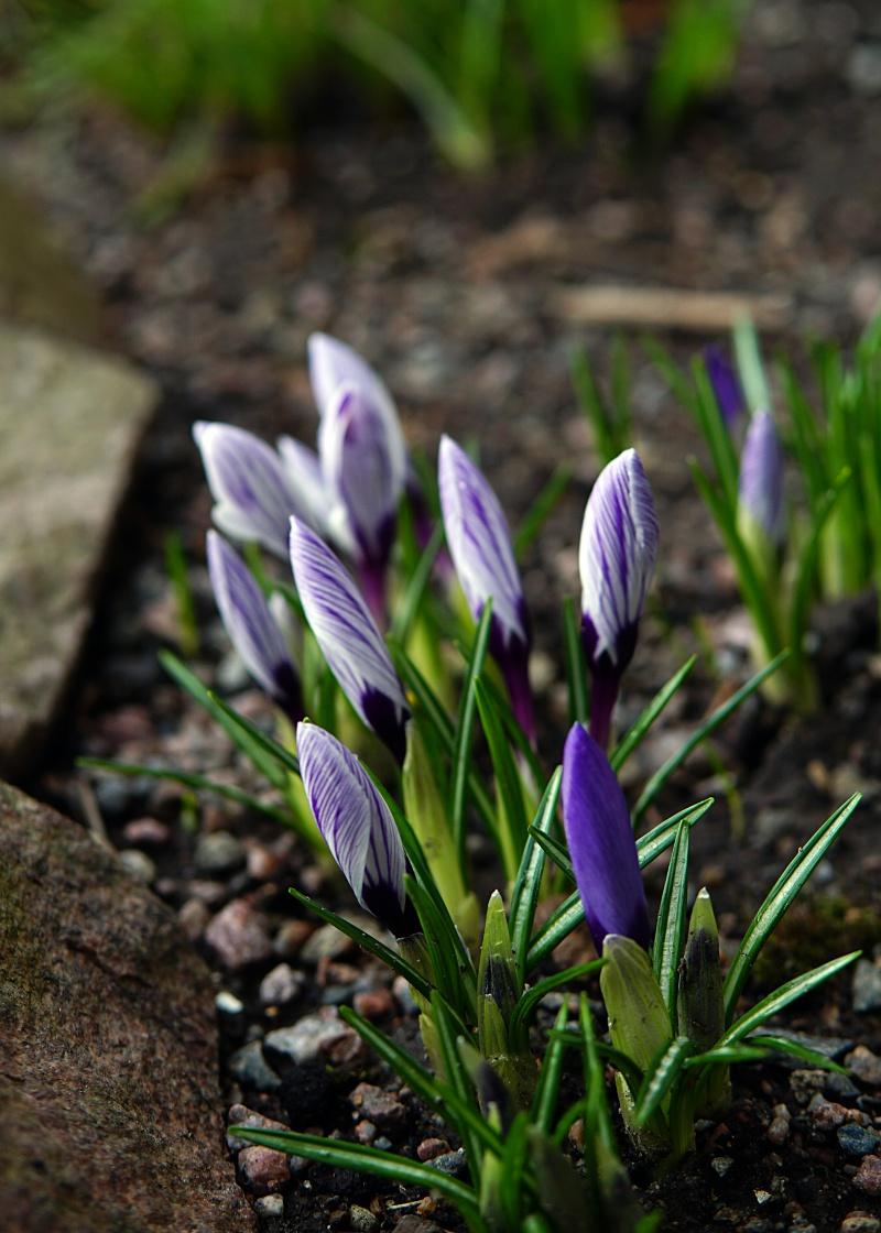 Kevätkukat, kevät