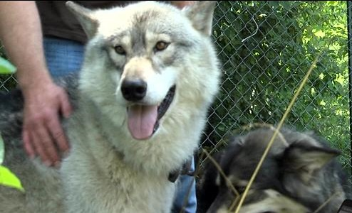 White Wolf : Arkansas man leaves his world behind to care