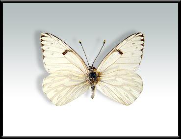 Mariposa lechera Tatochila autodice