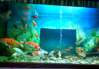 teknik budidaya ikan koi di akuarium
