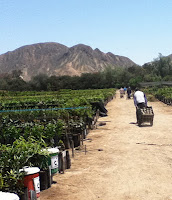 In Pursuit of the Year-Round Harvest: A visit to Topara Organico in Peru