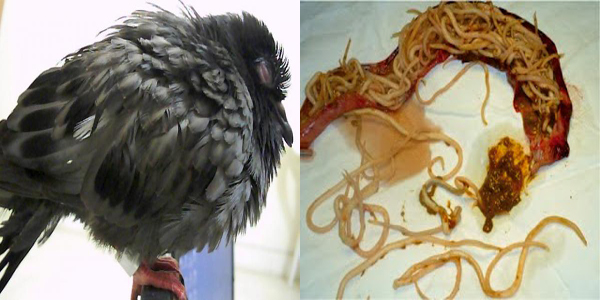 obat burung cacingan