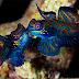 Ikan Mandarin (Synchiropus splendidus)