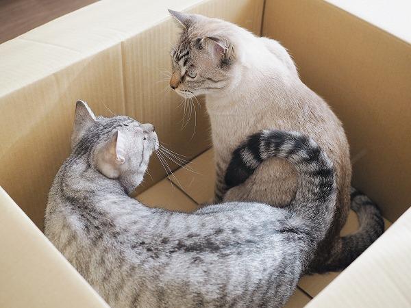 箱の中で睨み合うサバトラ猫とシャムトラ猫