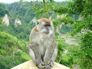 Macaco cangrejero