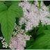 Creţuşca sau aspirina vegetală a casei- Tratează MIGRENELE, REUMATISMUL, GASTRITA şi ULCERUL