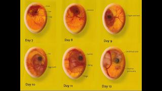 embrio ayam usia 7-12 hari dalam mesin tetas