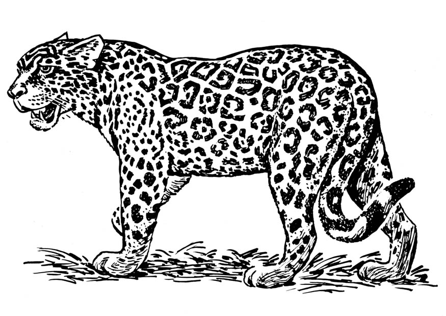 Dibujo Leopardo Para Colorear E Imprimir: Blog MegaDiverso: Leopardo Para Pintar Dibujos
