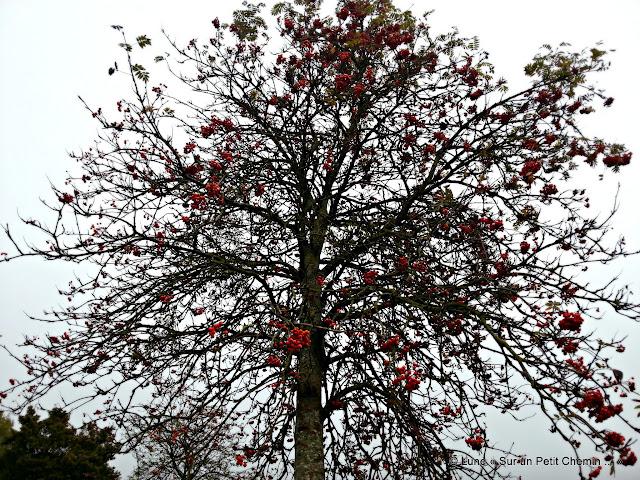 Le Sorbier des Oiseaux en automne © Lune « Sur un Petit Chemin ... »