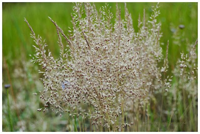 Szczotlicha siwa kwiaty