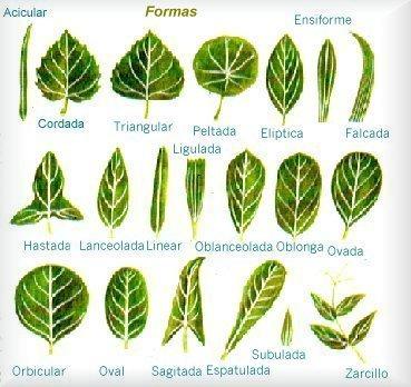 Actividades escolares actividades sobre las plantas for Tipos de arboles y sus caracteristicas