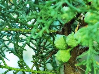 Folhas e Frutos de Pinheiro no Parque Saint Hilaire, Viamão