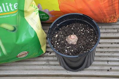 Elephant ears bulb being potted on