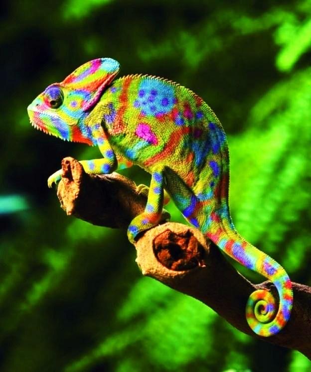 Amazing JPG: Colorful chameleon - photo#27