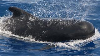 Paus Pilot (Pilot Whale)