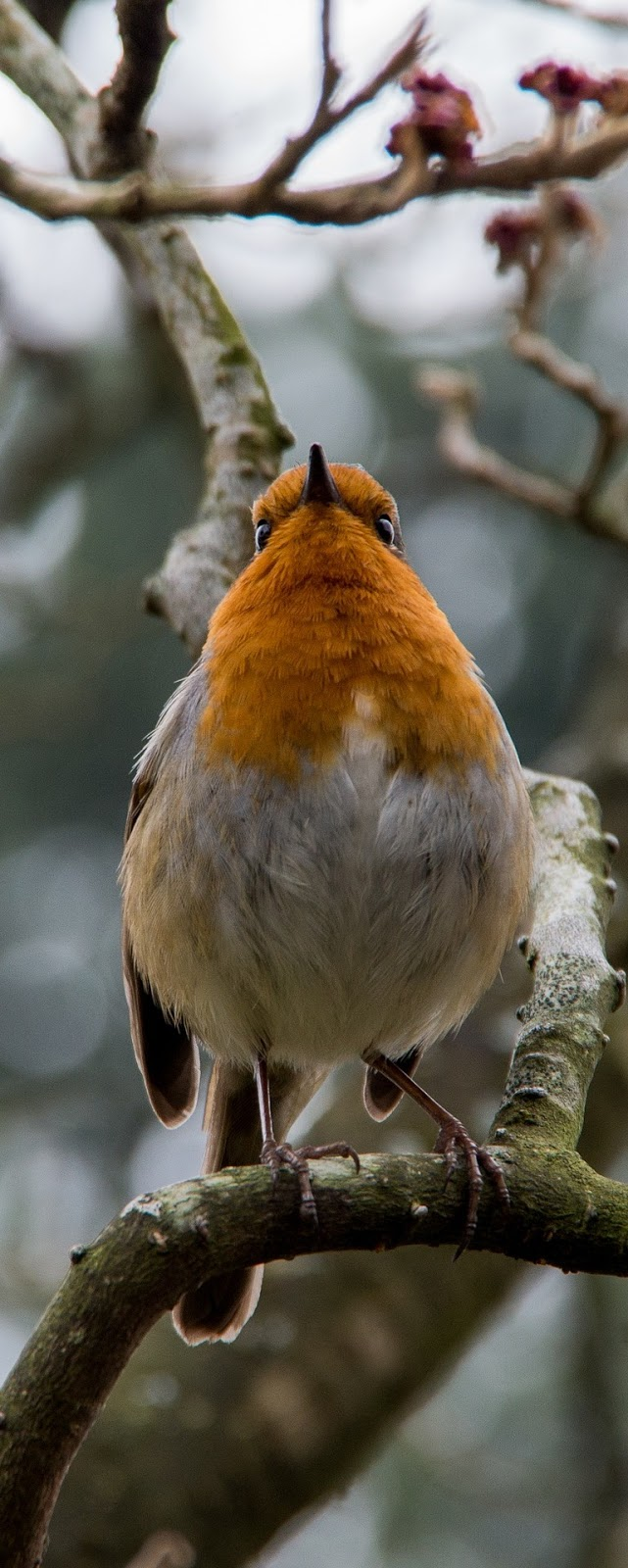 A robin photo shot from below.