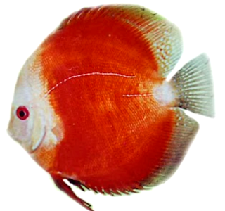 Gambar discus red melon