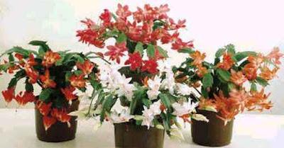 Suas flores são muito ornamentais e são bastante conhecidas por esse motivo, tendo cores vermelhas, rosas, brancas ou amarelas. Tem preferências por terra orgânica e que seja bem drenada, mas prefere clima quente e úmido