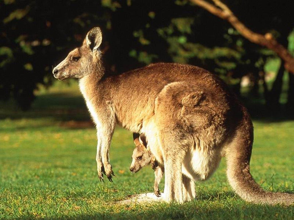 4246df56 Kangaroos have large, powerful hind legs, large feet adapted for leaping, a  long muscular tail for balance, and a small head.
