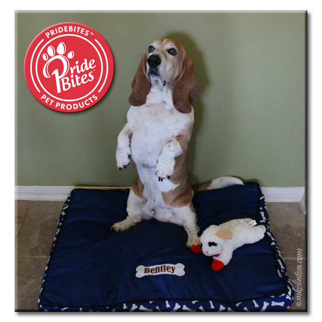 Basset hound sitting up on PrideBites canvas bed