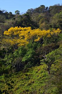 Yellow Flowering Trees, Costa Rica