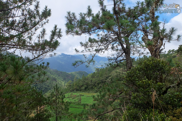 pulag pine trees