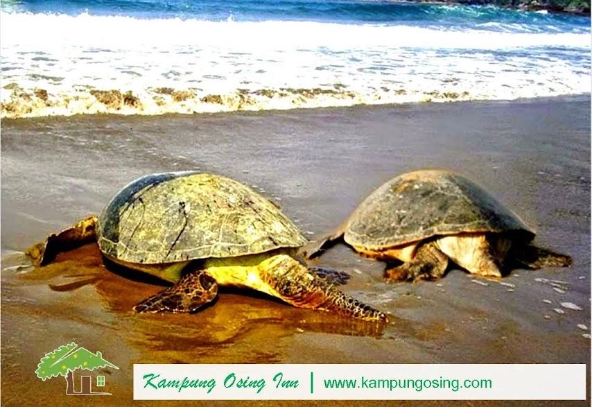Turtle Laying Egg Sukamade Banyuwangi