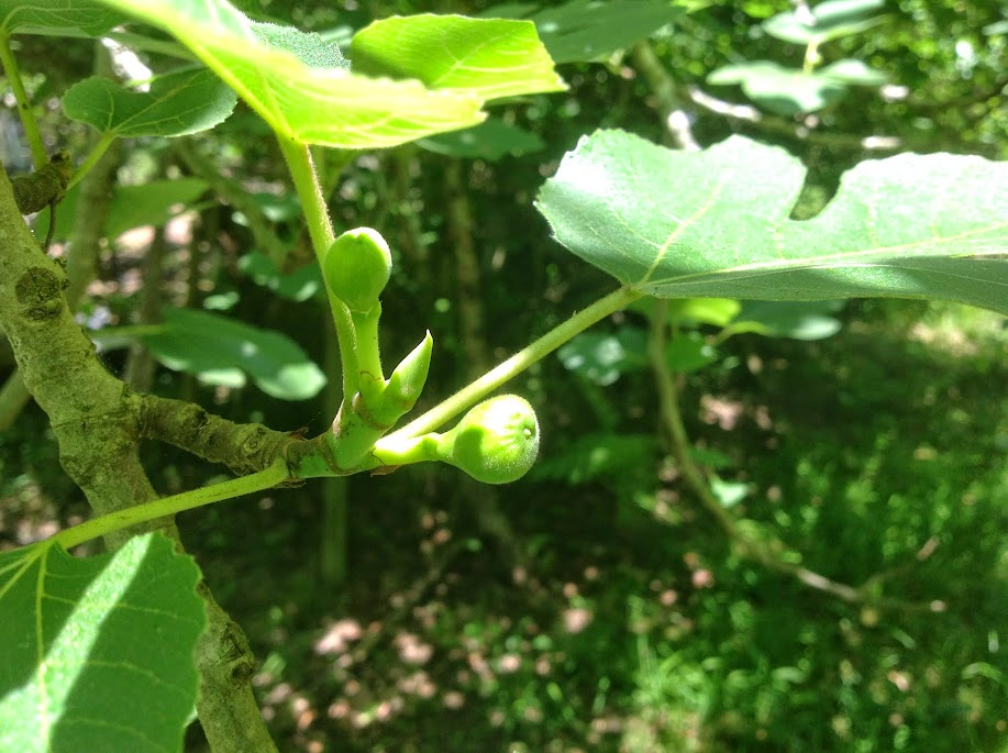 green fig growing