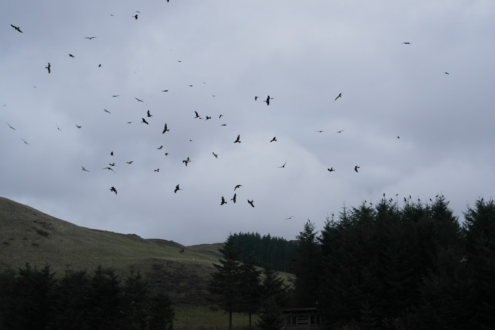 red kite feeding station, wales