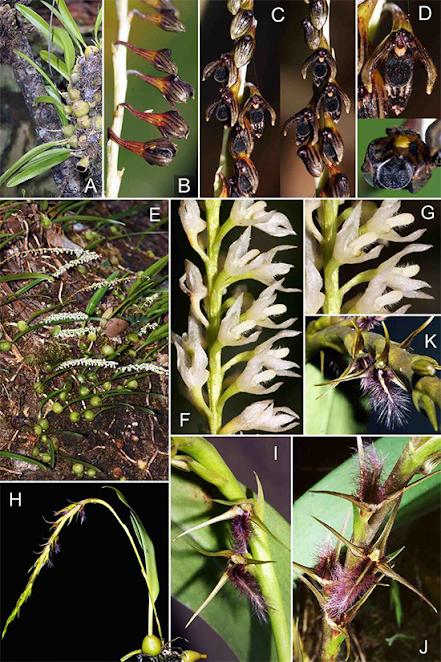 Bulbophyllum nigripetalum