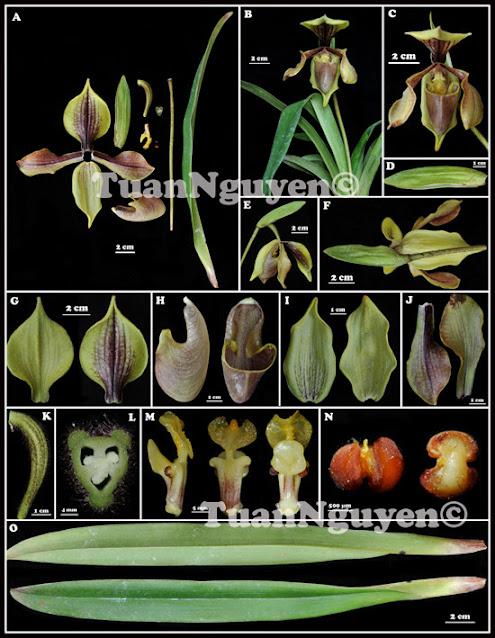 Paphiopedilum villosum (Lindley) Stein var. laichaunum Hai & Tuan