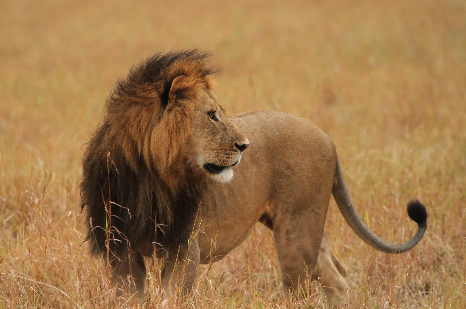 Sarath C R Blog: The Lions of Masai Mara