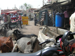 Vacas sagradas,sacred cows, Nueva Delhi, New Delhi, India, vuelta al mundo, round the world, La vuelta al mundo de Asun y Ricardo