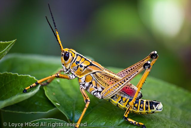 Photo Of The Day Southeastern Lubber Grasshopper