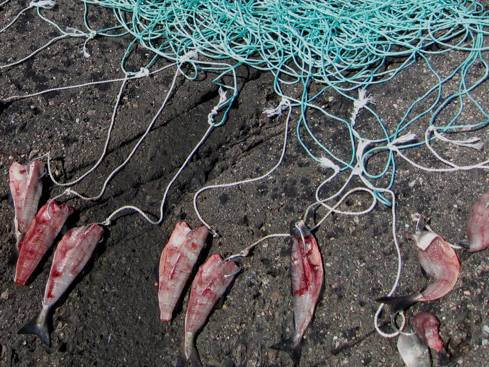 hvordan fiske kveite med line