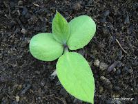Σύμφυτο σπορά φύτεμα καλλιέργεια