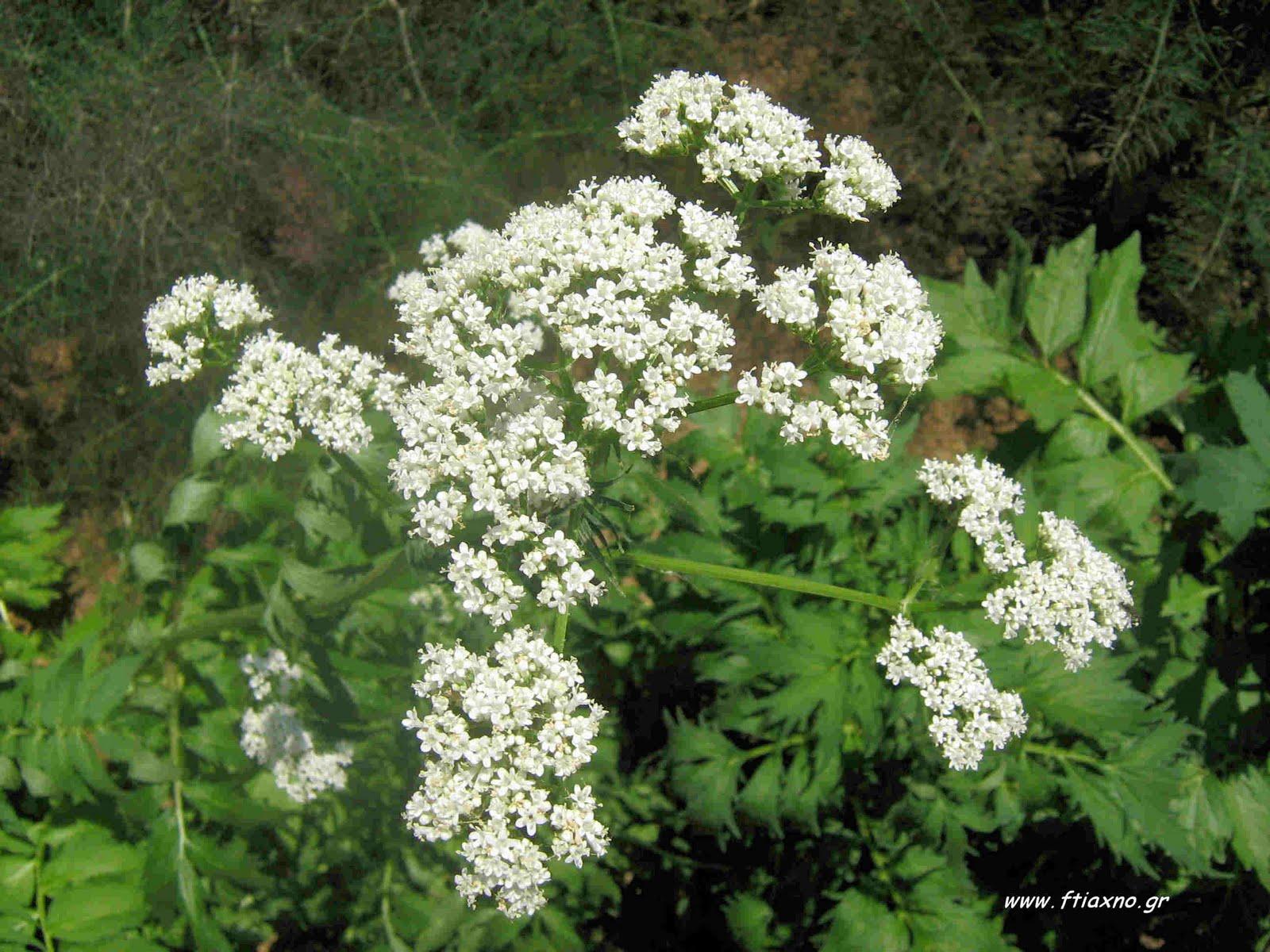 Βαλεριάνα σπορά φύτεμα καλλιέργεια