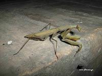 Μάντης: Ωφέλημα έντομα