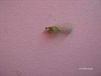 Χρύσοπας-Green Lacewing: Ωφέλημα έντομα