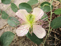 Κάπαρη-Capparis spinosa