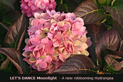 How Did Your Hydrangeas Bloom This Year